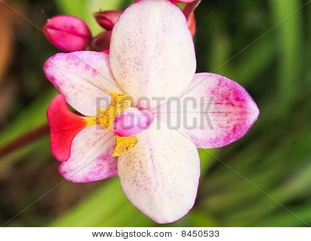 White orchid pink.