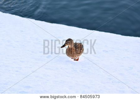Gray Duck Walking On Snow