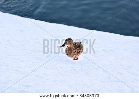 Gray Duck Walking On Snow