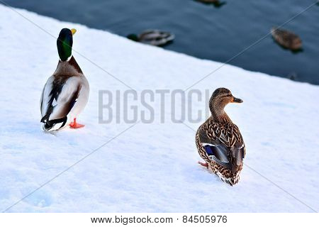 Two Ducks In The Winter