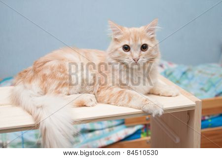 White-haired Cat Lies On A Shelf