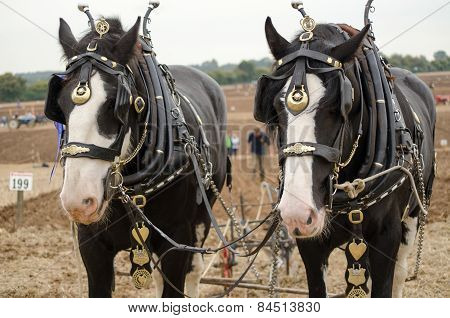 Ned and Daisy, Shirehorses