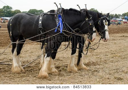 Shire horses at Ploughing Competition
