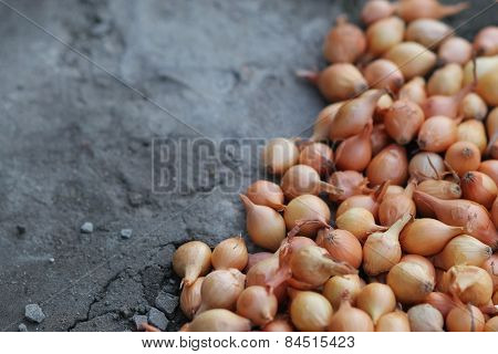 organic onions for planting