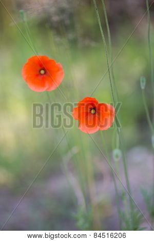 Beautiful Poppy Flowers In Nature