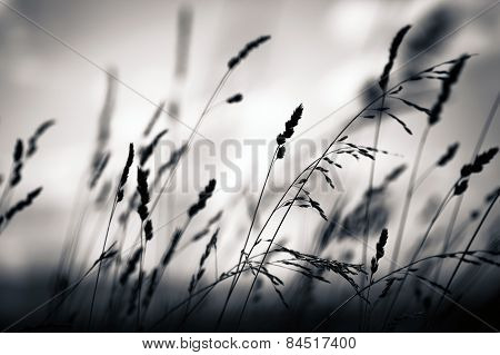 Grass Plant Silhouette At Dawn