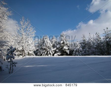 Snow covered pine hilltop