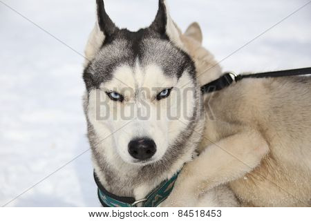 adult husky puppy