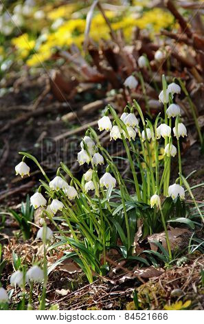 Snowdrops In Bloom In The Spring Garden