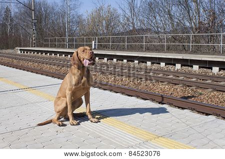 dog waiting for his master to rural station, spring day, Viszla