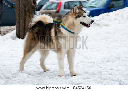 Alaskan Malamute in snow.