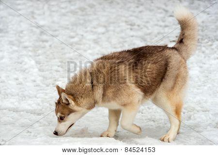Husky sleuths.