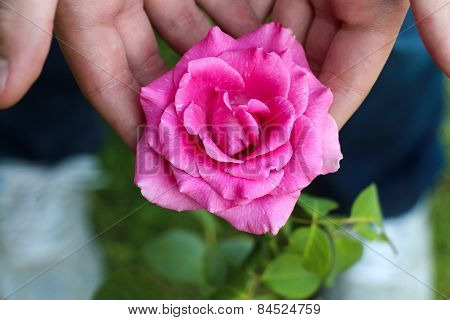 Pink rose in hands