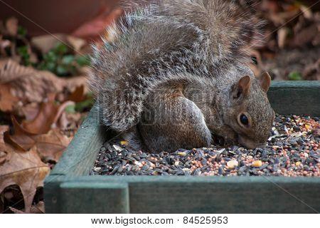 Squirrel eating birdseed