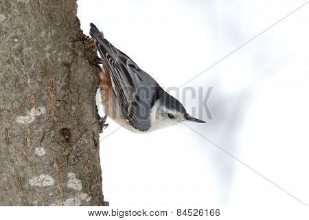 White-breasted Nuthatch Perched On A Tree Trunk