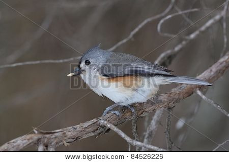 Tufted Titmouse Eating A Seed