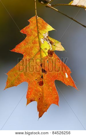 Red Oak Leaf In Autumn