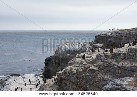 Rockhopper Penguin Colony