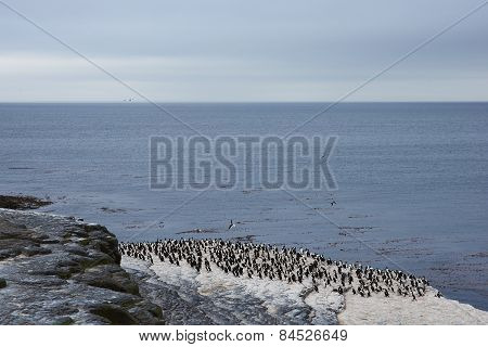 Rock Shag Colony