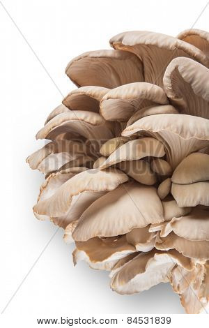 Oyster mushrooms on a white background.