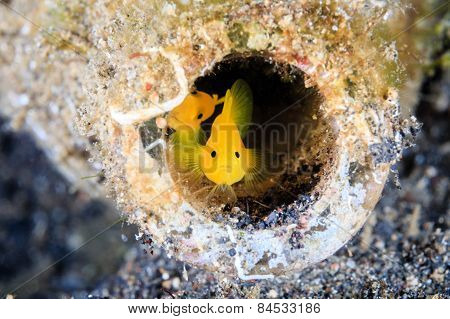 A Pair Of Gobies Look Out From An Old, Discarded Glass Bottle On The Seabed