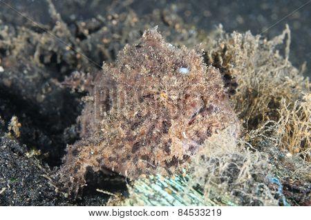 Lembeh Hispid Frogfish