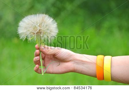 Large dandelion in hand