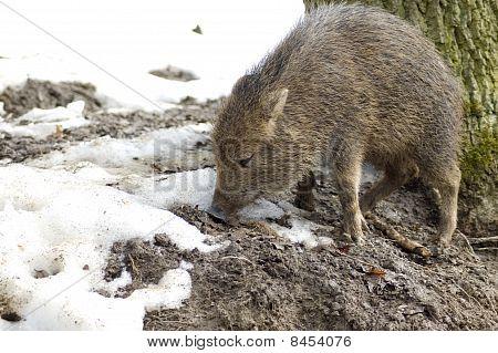 Piglet Peccary.