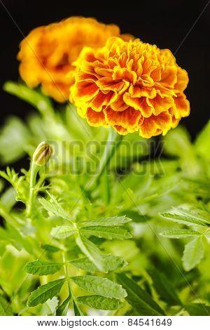 Marigold Flower.