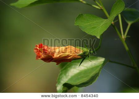 Orange Hibiscus (Hibiscus rosa-sinensis)