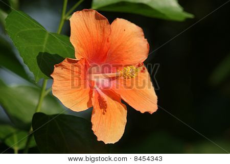Orange hibiscus are blooming,