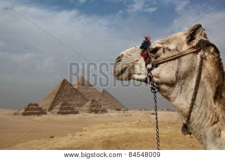 A camel looking out towards the pyramids of Giza