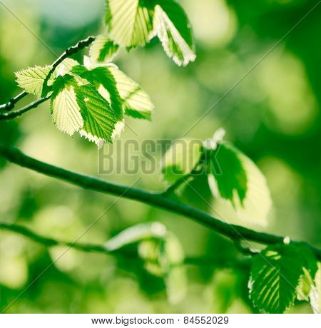Spring leaves lit by sunlight