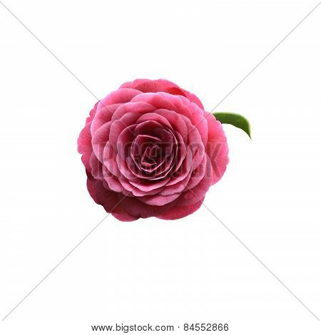 Red camellia flower frontal view