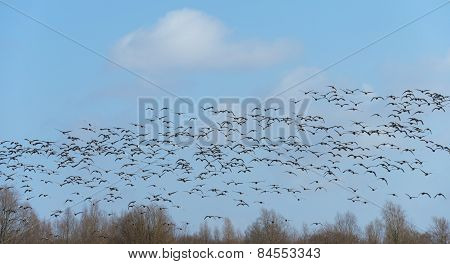 Flock of geese flying over nature in winter