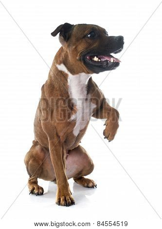 Playing Staffordshire Bull Terrier