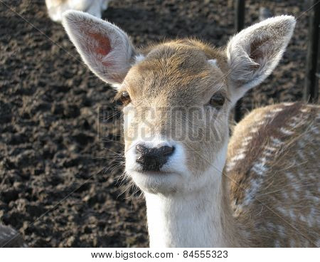 A roe deer in a padock