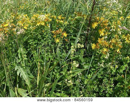 Meadow Flowers Grass Hypericum
