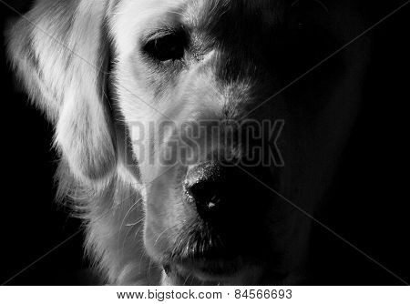 monochrome portrait of a dog