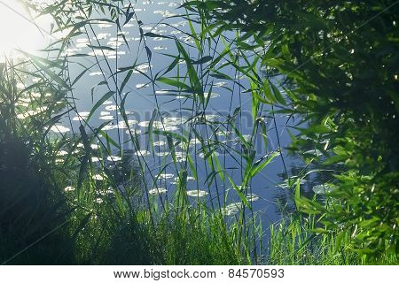 Plants In Swamp Water In Evening Summer Sun
