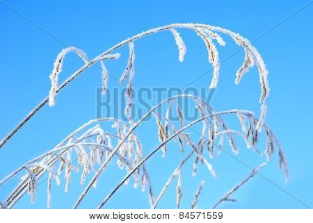 Festuca Pratensis Under Snow On A Background Of Blue Sky