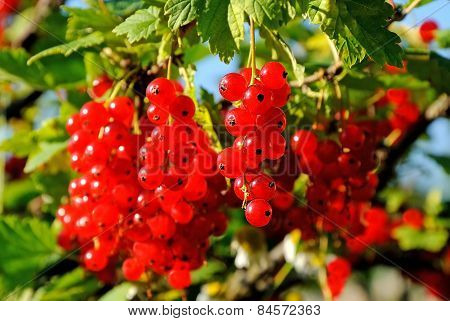 Ripe Berries On A Branch