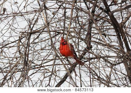 Cardinal, Northern (Cardinalis cardinalis)