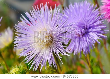 Aster Flower In The Garden