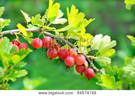 Ripe Gooseberries