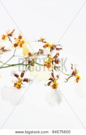 White And Yellow Oncidium Dancing Lady Orchids