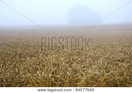 Summer End Wheat Field And Early Morning Fog Mist