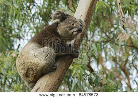 Australian koala bear on eucalyptus tree, Victoria, Australia.