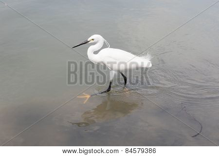 Wild Little Egret Bird Feeding In Water Pool Use For Animals And Wildlife In Nature Habitat