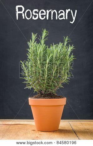 Rosemary In A Clay Pot On A Dark Background